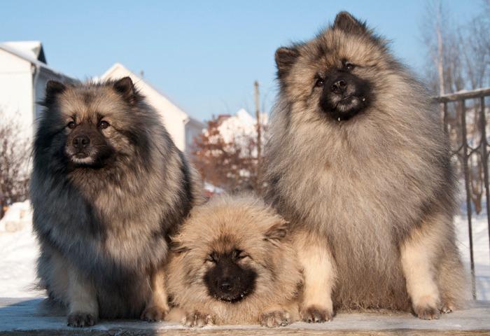 Три немецких шпица
