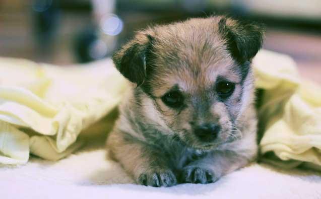 Воспитание щенка на дому