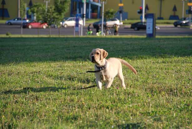 щенок лабра на лужайке
