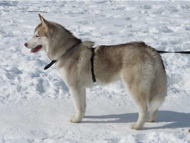 Хаски – выносливая и дружелюбная к человеку собака (АЛЬПИНА, МИНСК, 2013)