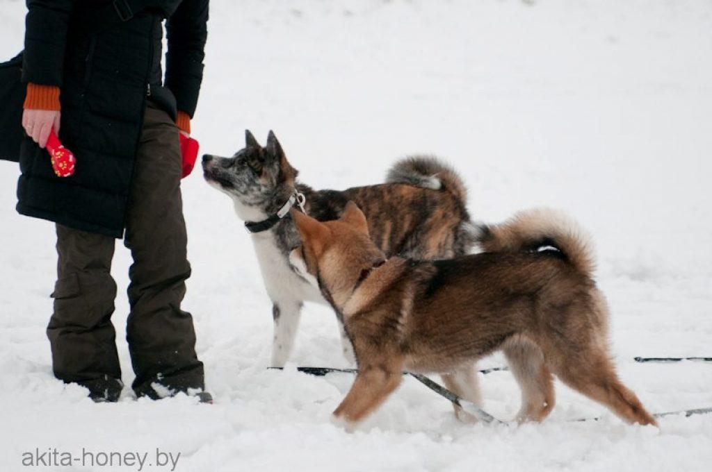 дрессировка собак в минске